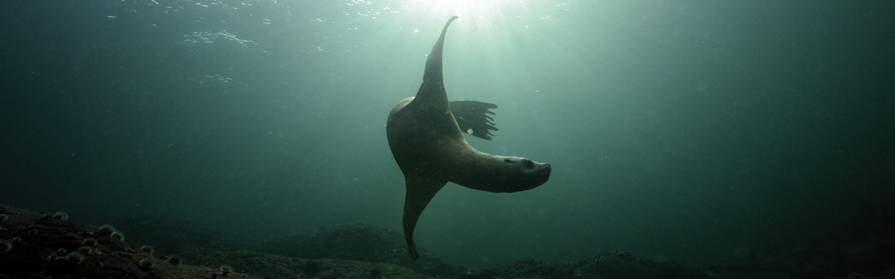 underwater sea lion