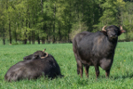 McClintock's Farm's water bison